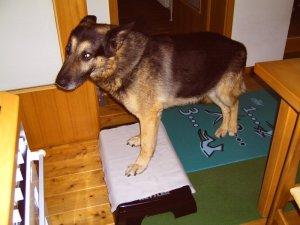 Bero, Schäferhund 12 Jahre, Cauda Equina Syndrom